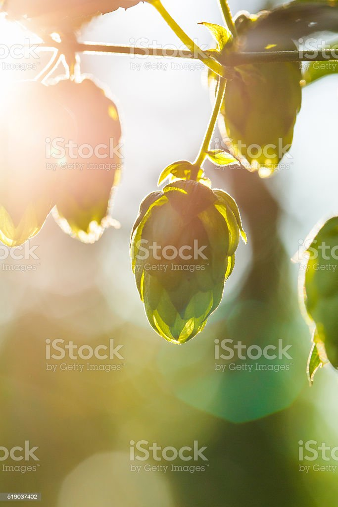 Close-up of a sunlit common hop cones stock photo