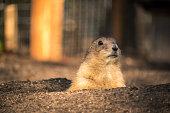 Close-up of a sweet prairie dog