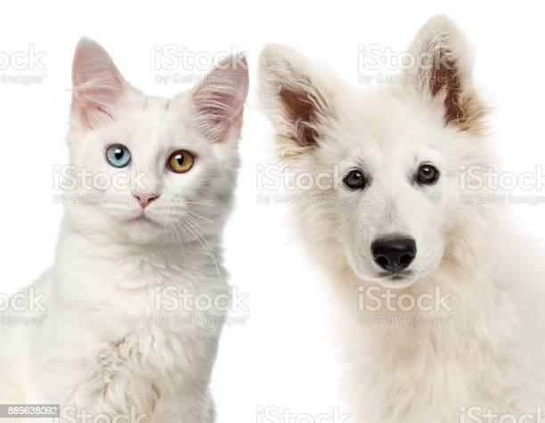 Closeup of a swiss shepherd dog and main coon looking at the camera picture id889638092?b=1&k=6&m=889638092&s=612x612&h=dcskomz0sxxae9hdbm7hkx6paqdgf7uhr1mmfwyzdly=