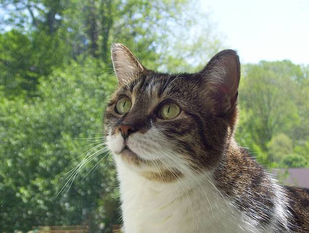 Close-up of a Tabby Cat, Looking Skyward stock photo