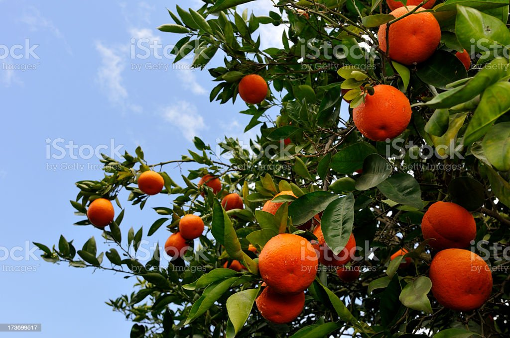 Close-up of a tangelo tree growing oranges stock photo