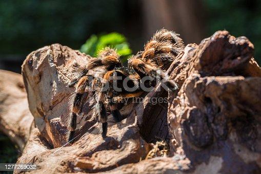 Closeup of a tarantula on a tree trunk