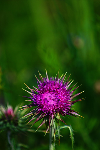 Bavaria, Germany. Close-up of  a thistle at a Wild flower meadow.