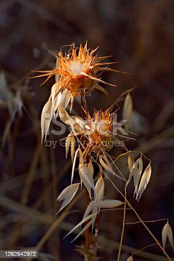 Closeup of a thistle flower with its thorns illuminated by the sun at sunset. Outdoors.