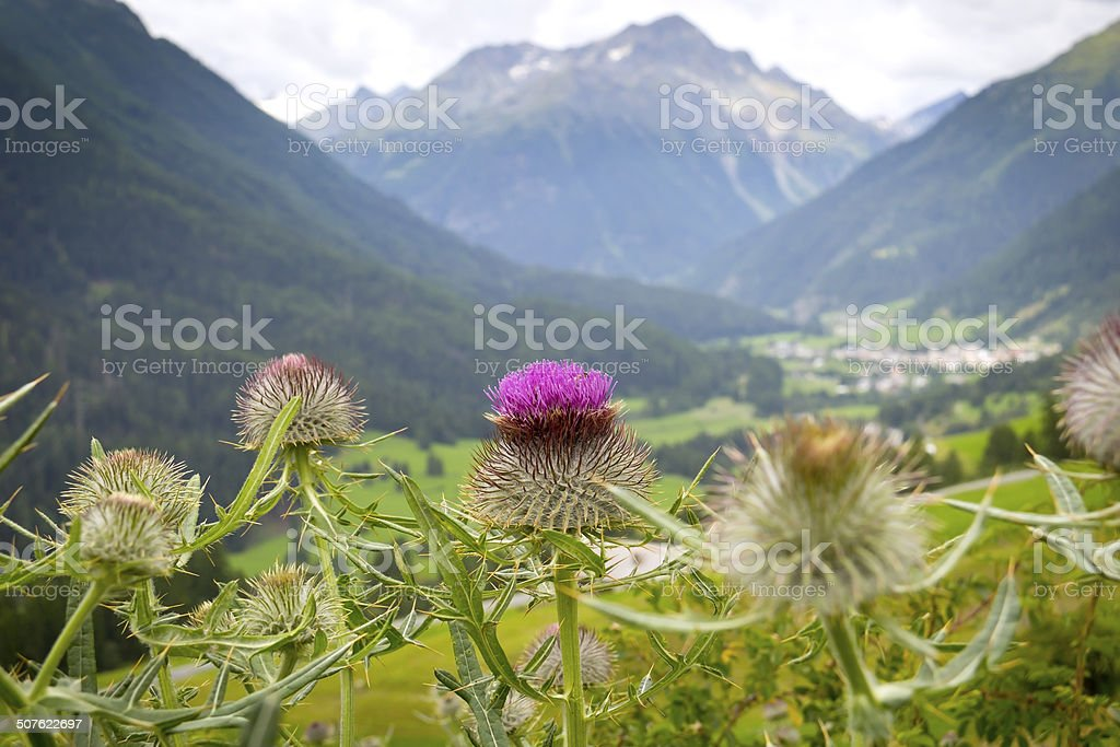 Close-up of a Thistle stock photo