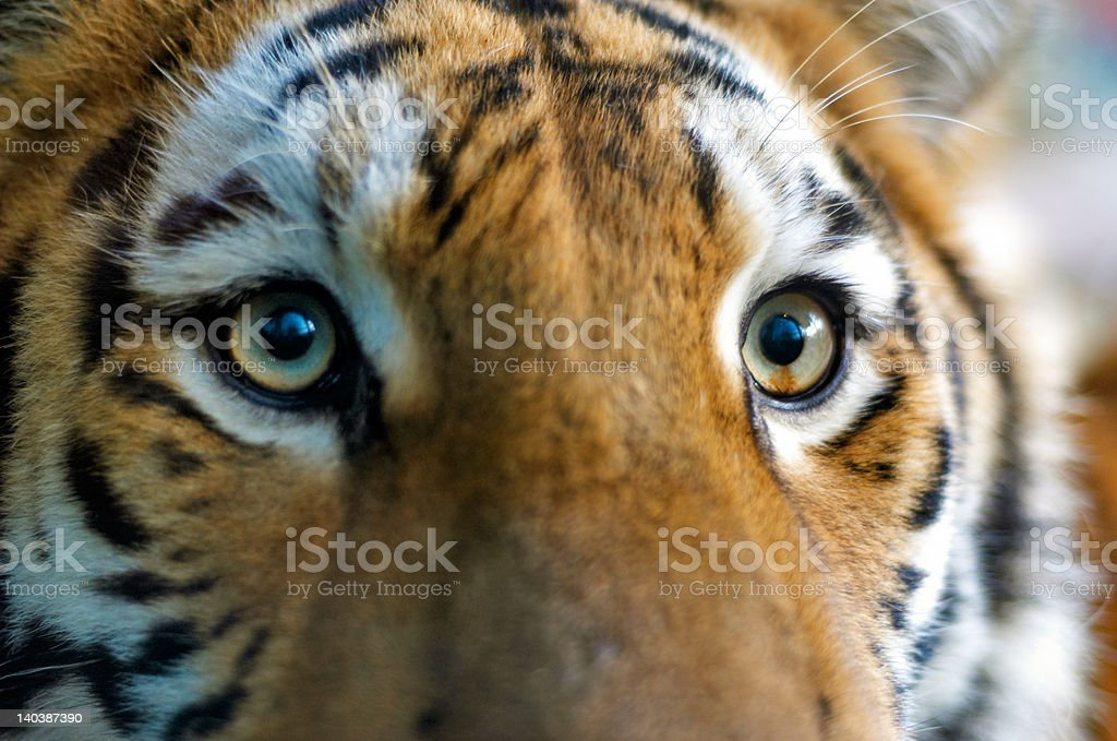 Close-up of a tiger royalty-free stock photo