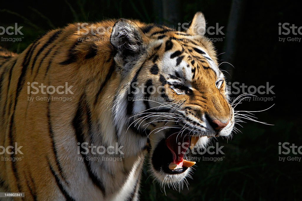 Close-up of a tiger roaring and showing his teeth stock photo