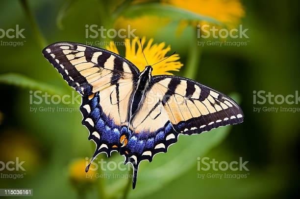 Closeup of a tiger swallowtail butterfly on a flower picture id115036161?b=1&k=6&m=115036161&s=612x612&h=7hu7bpmjmg4gpizfwoolshoyrijuu3fxvsohturgleg=