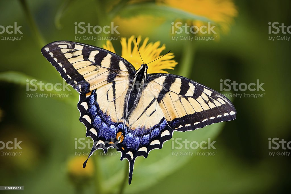 A close-up of a Tiger Swallowtail butterfly on a flower stock photo