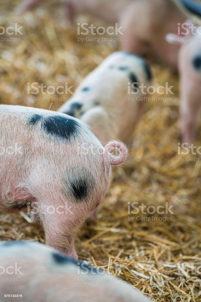 Nahaufnahme von einem winzigen Eisstockschießen Pig tail – Foto