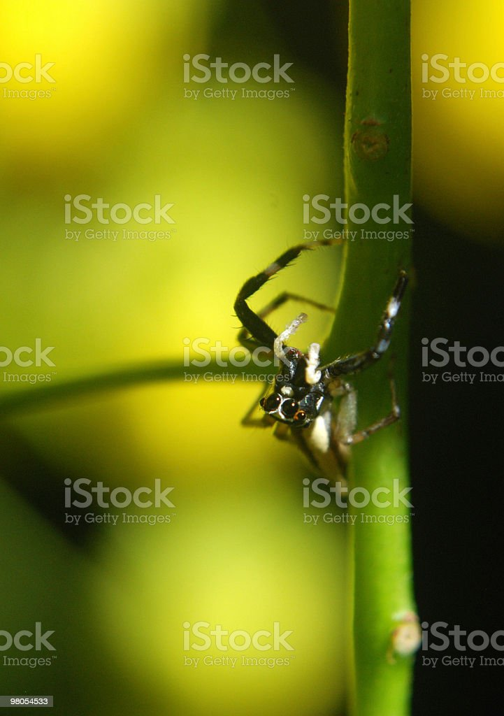 Closeup of a tiny spider royalty-free stock photo