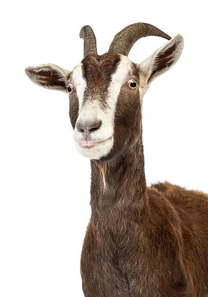 Gros plan d'une chèvre devant un fond blanc de Toggenburg - Photo