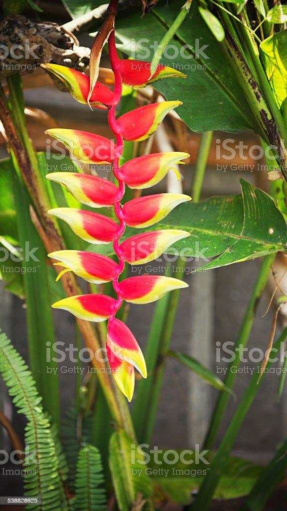 Close-up of a tropical Heliconia flower stock photo