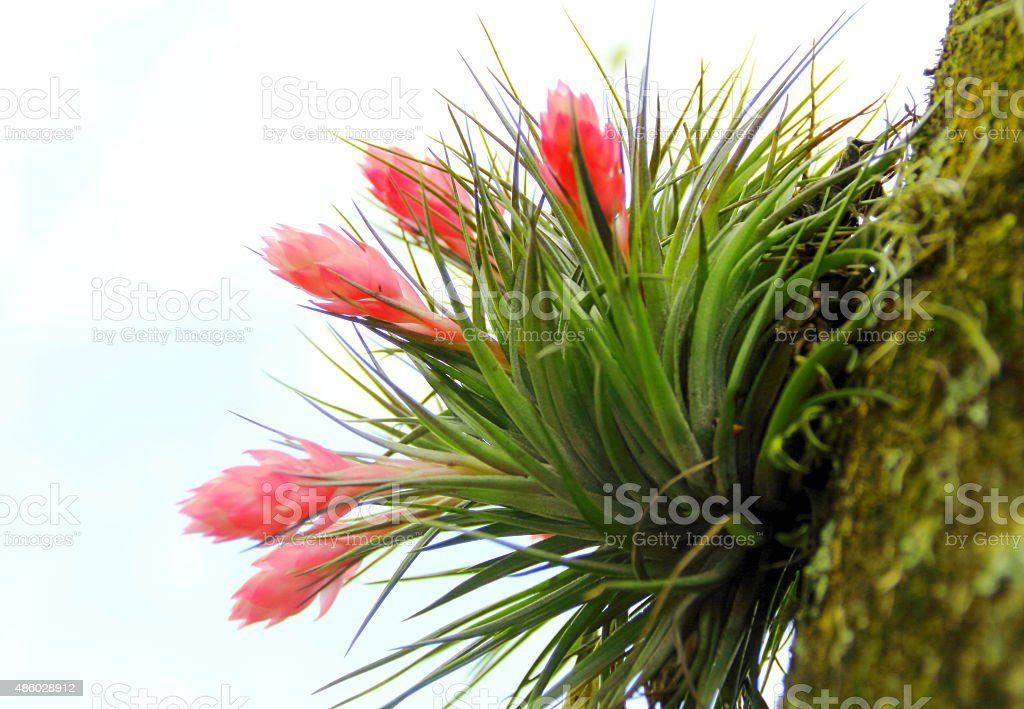 Close-up of a tropical pink bromeliad stock photo