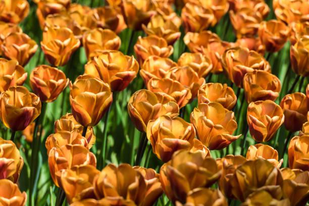 closeup of a tulips field stock photo