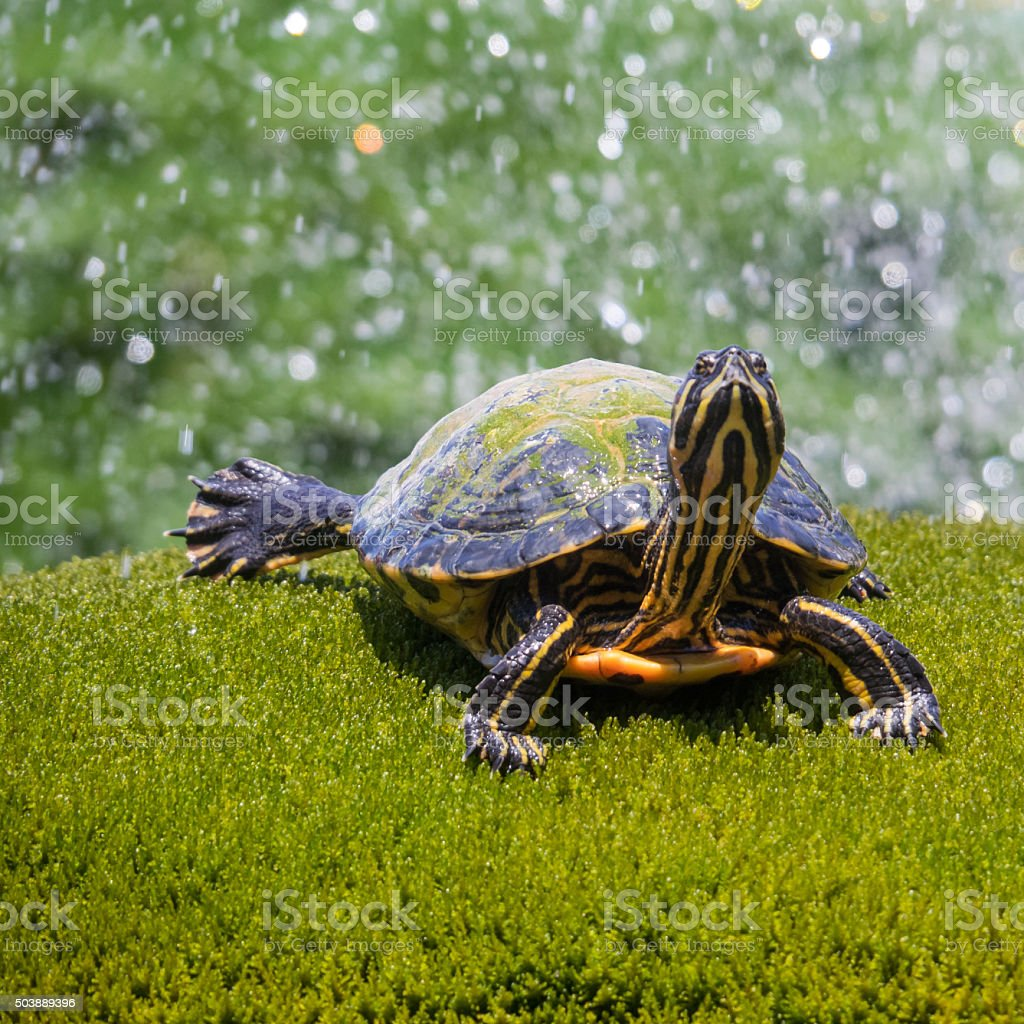 Closeup of a turtle in a fountain stock photo
