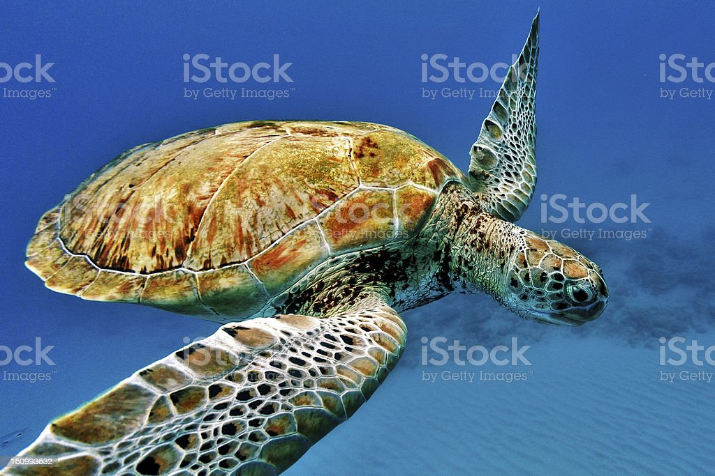 Close-up of a turtle swimming underwater in Barbados stock photo