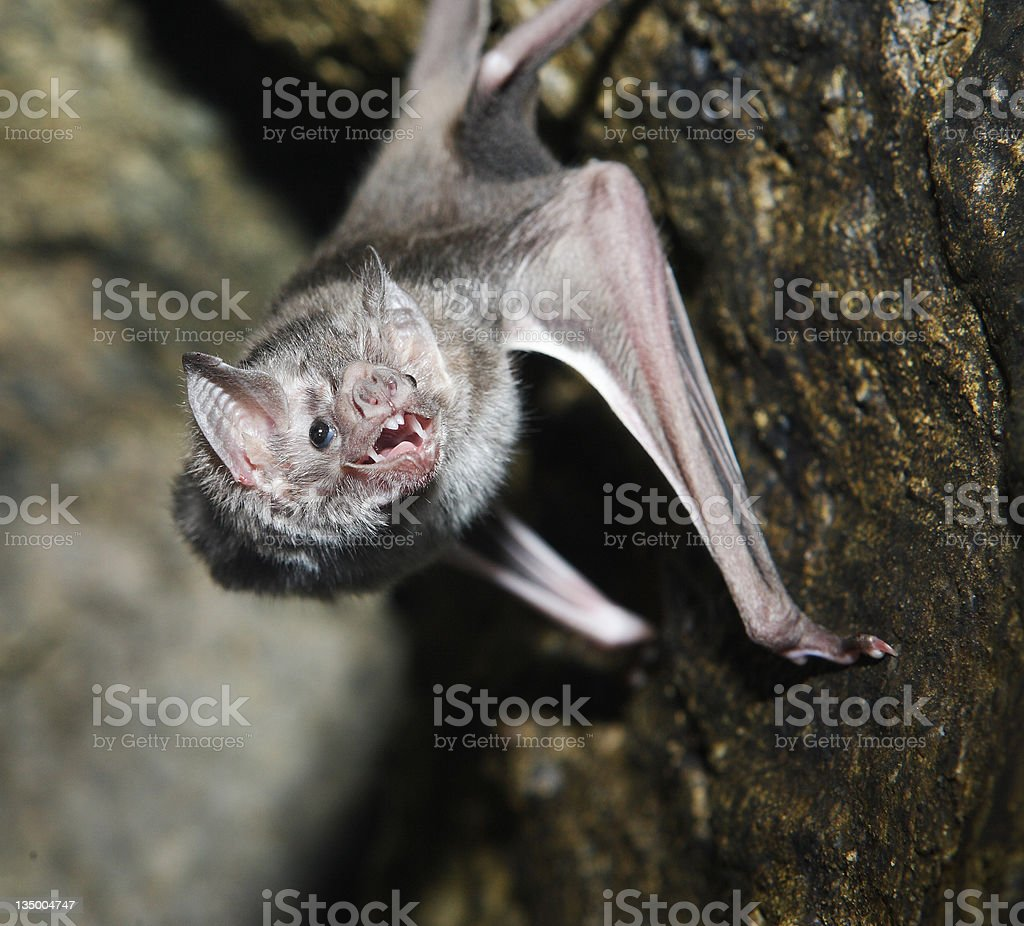 Close-up of a vampire bat with its mouth open stock photo
