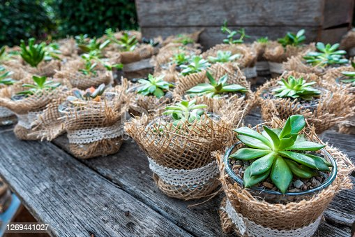Close-up of a variety of small cacti succulents planted in miniature glass jars on a rustic wooden table as handmade gifts to party guests. Jute material wrapping on each jar provides a country feel.