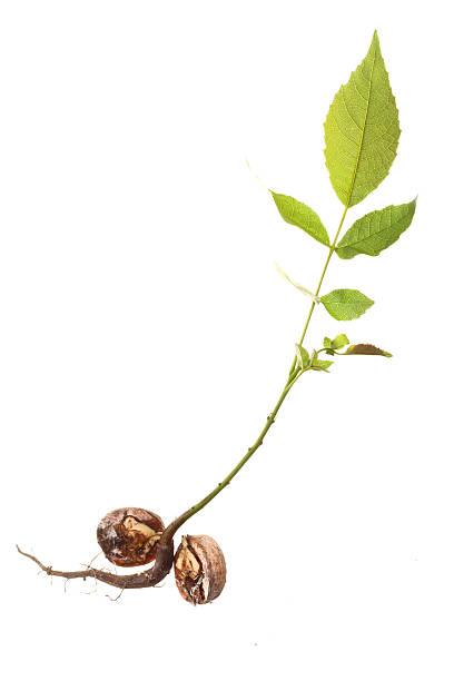 Best Walnut Tree Walnut Seedling Leaf Stock Photos, Pictures