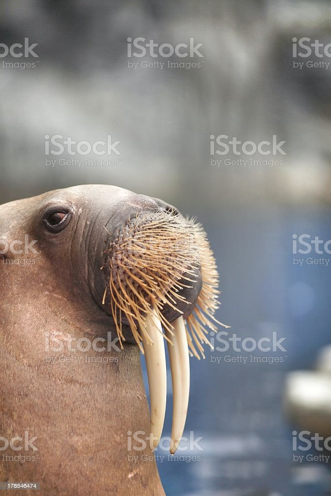 Close-up of a walrus with a blurred background stock photo