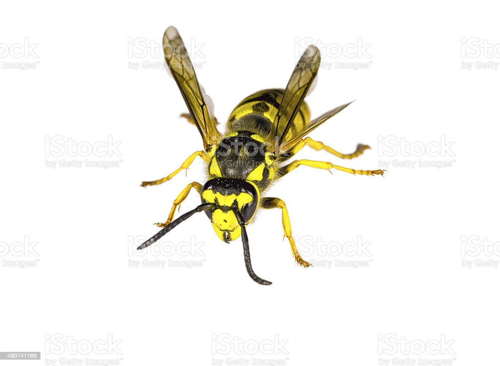 Closeup of a Wasp on White Background stock photo