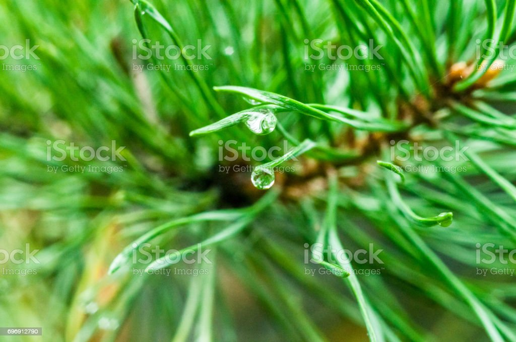 A closeup of a water drop at the end of a pine needle stock photo
