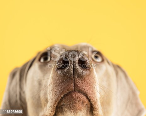 The tip of the nose is sharp and the rest of the face is blurry.  The dog is looking up as if concentrating on something above it.  It looks calm and obedient.