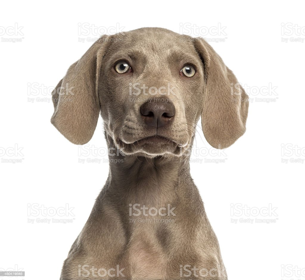 Close-up of a Weimaraner puppy facing, isolated stock photo