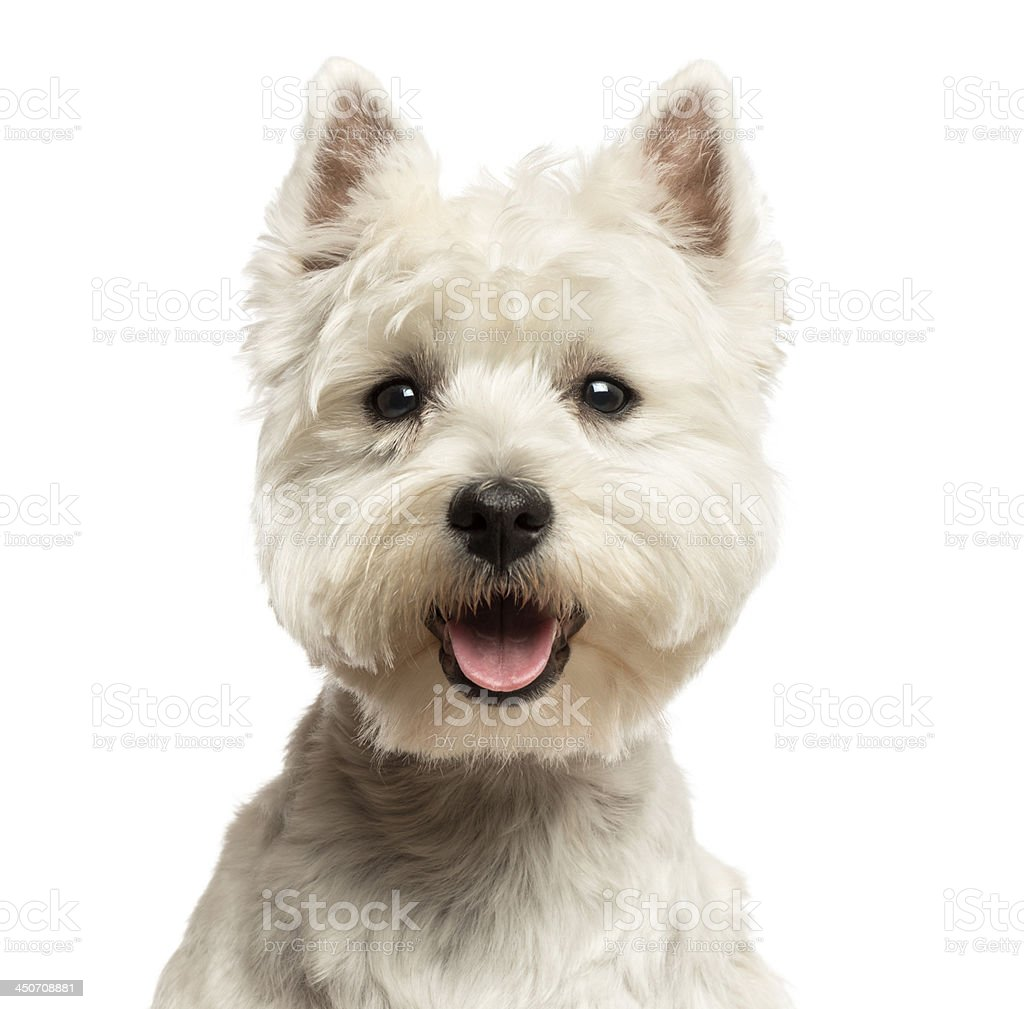 Close-up of a West Highland White Terrier panting stock photo