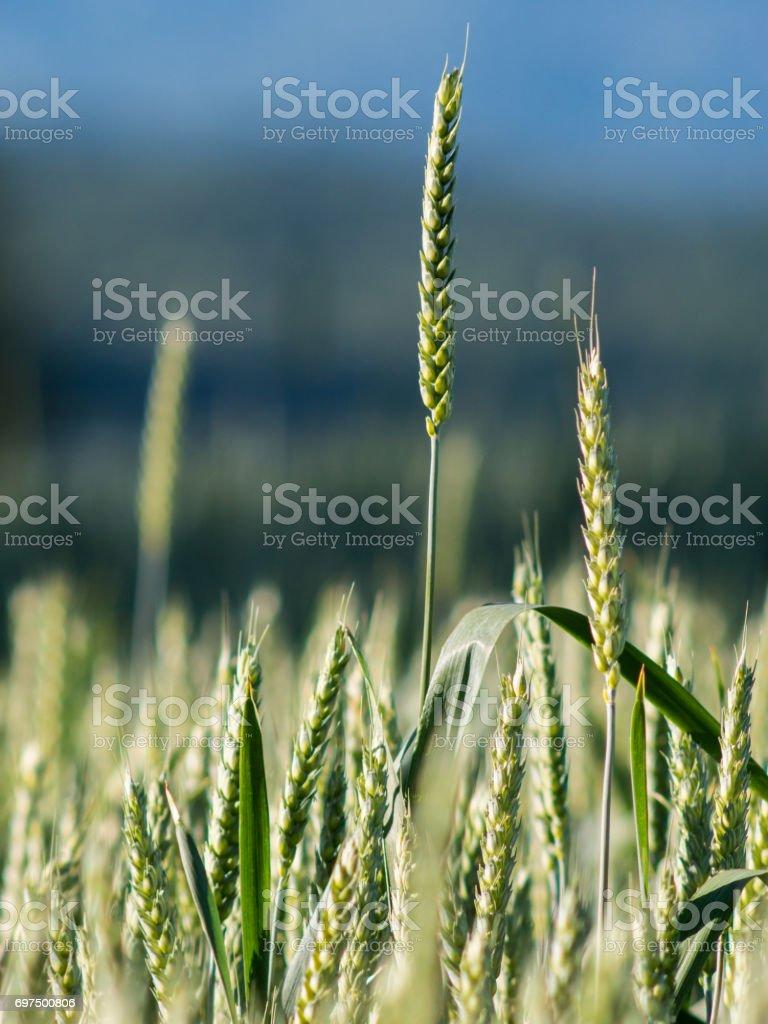 Nahaufnahme einer Weizen-Spitze in einem Feld mit Himmel im Hintergrund – Foto