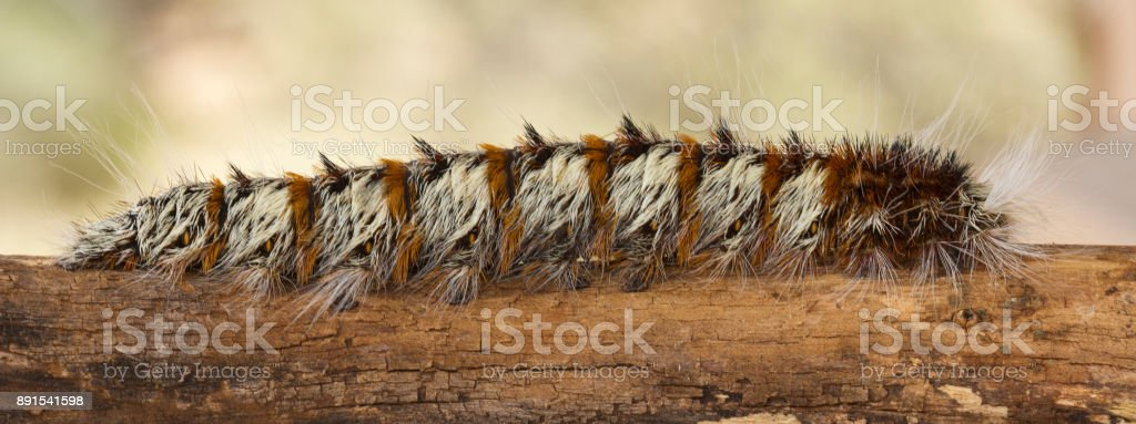 Close-up of a white and brown woolly worm crawling along a dry log stock photo