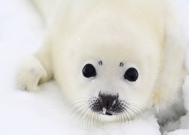 Close-up of a white baby harp seal pup Baby harp seal pup on ice of the White Sea seal pup stock pictures, royalty-free photos & images