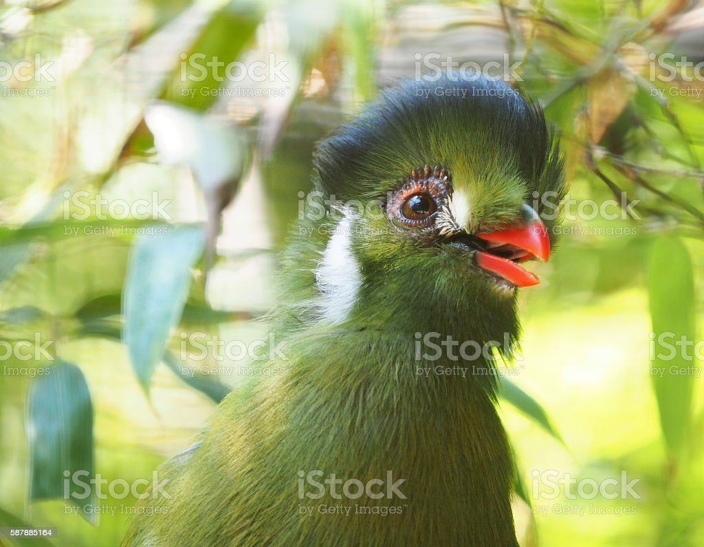 Closeup of a White Cheeked Turacos stock photo