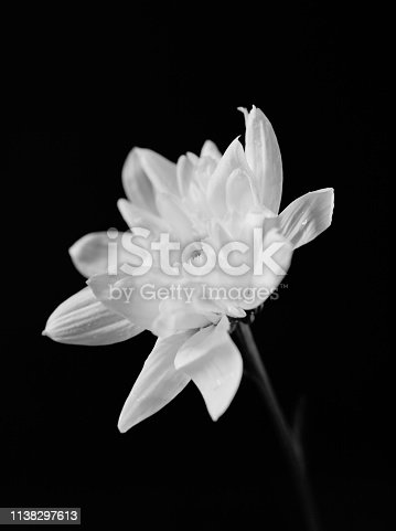 Close-up of a white chrysanthemum flower on a black background