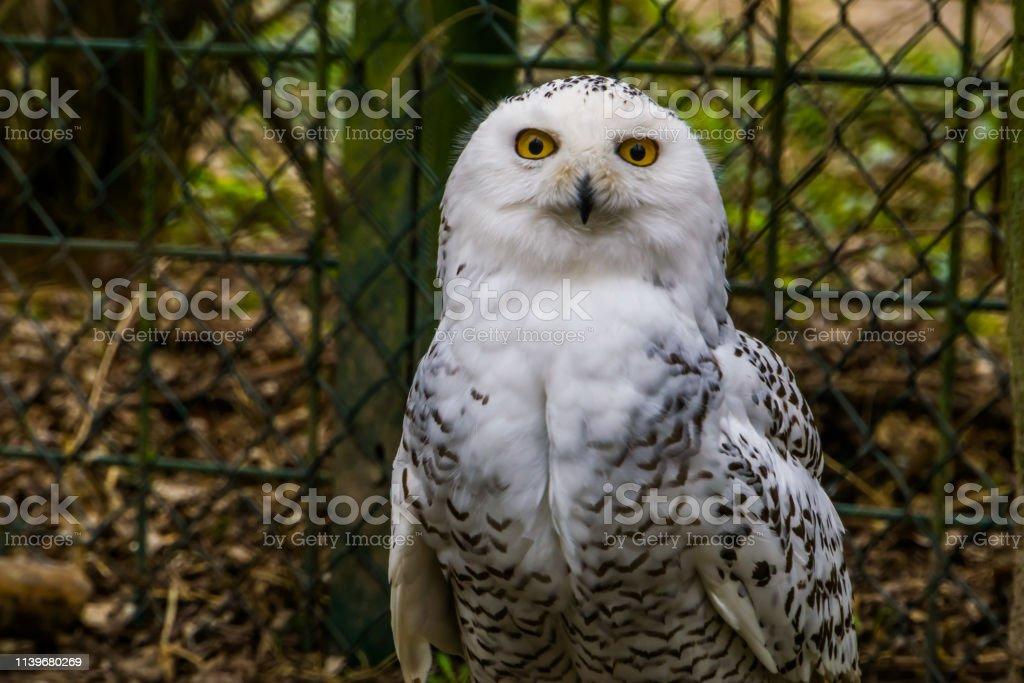 closeup of a white snowy owl, Beautiful arctic bird, Vulnerable...