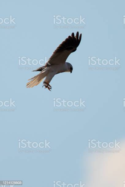 Photo of Close-up of a white-tailed kite about to dive an a prey, in seen in the wild in North California