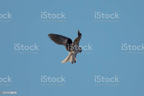 Photo of Close-up of a white-tailed kite flying in the wild, seen in beautiful light in North California