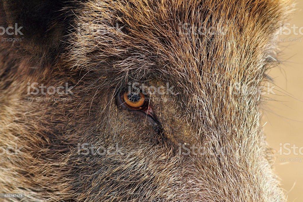 Nahaufnahme eines wild boar – Foto