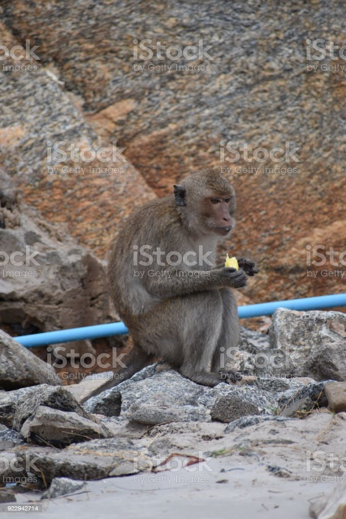 Closeup of a wild monkey eating a banana on the beach at the monkey mountain Khao Takiab in Hua Hin, Thailand, Asia stock photo