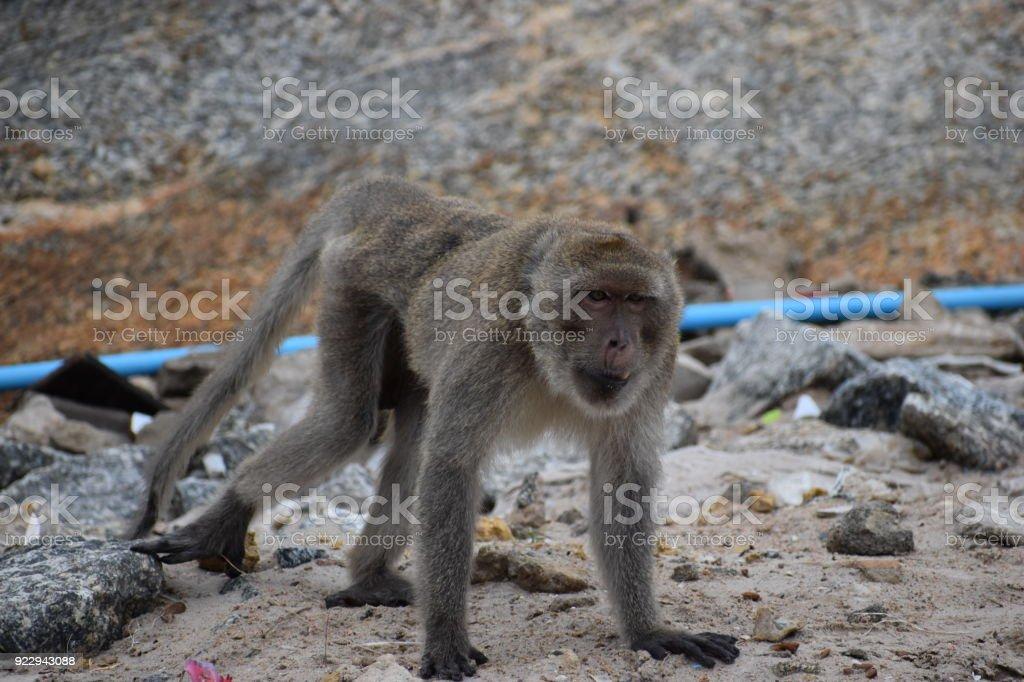 Closeup of a wild monkey on the beach at the monkey mountain Khao Takiab in Hua Hin, Thailand, Asia stock photo