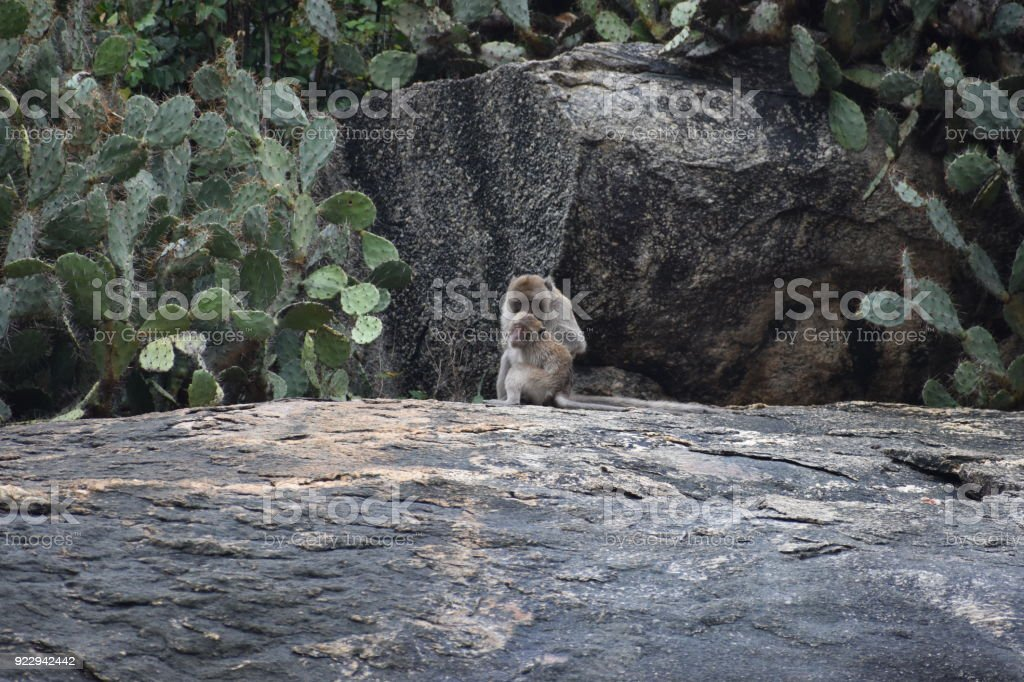 Closeup of a wild monkey sitting on a stone at the monkey mountain Khao Takiab in Hua Hin, Thailand, Asia stock photo