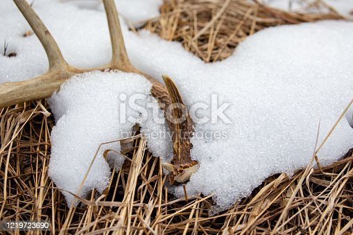 istock Close-up of a Wisconsin White-tailed Deer antler shed laying on the ground in April with snow 1219723690