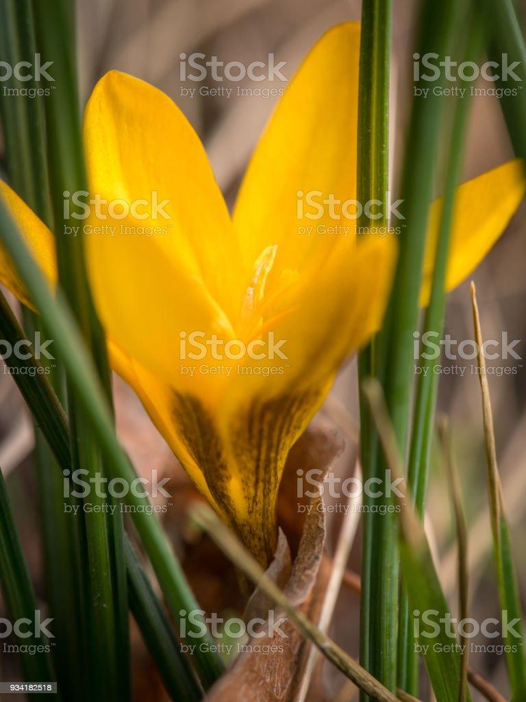 Primer plano de una flor de azafrán amarillo foto de stock libre de derechos