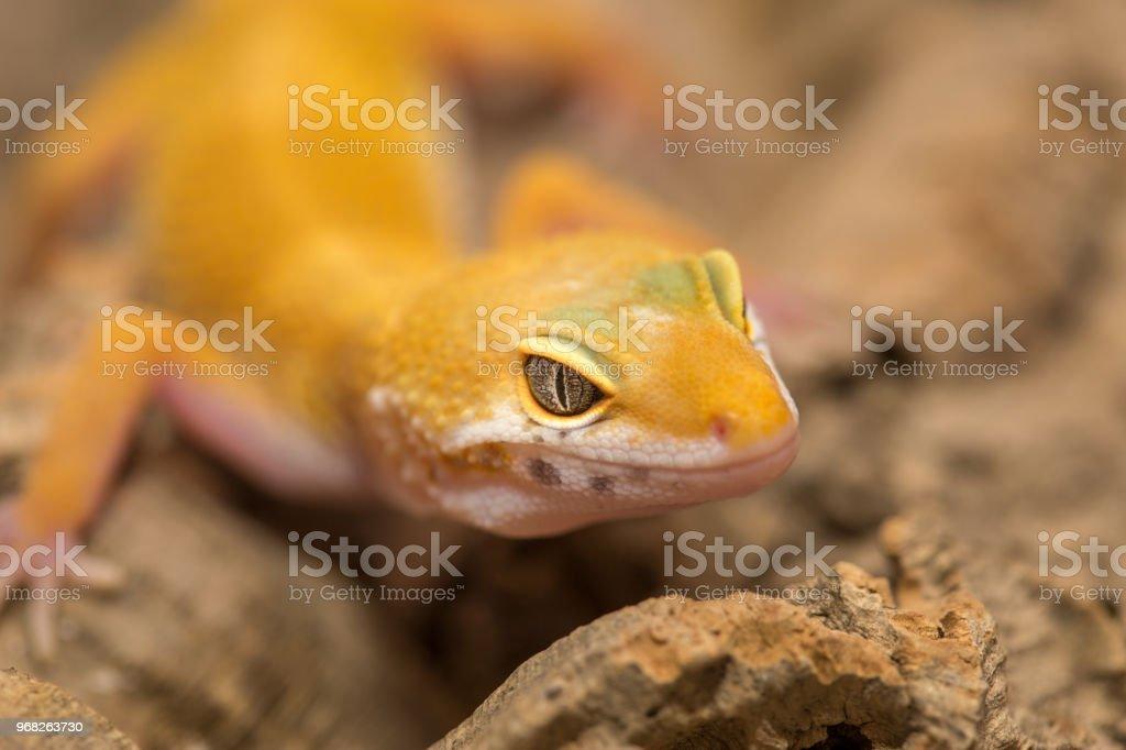 Fotografía de Closeup De Un Macro De Gecko Amarillo y más banco de ...
