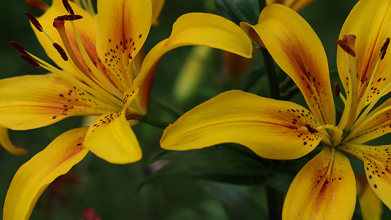 Close-up of a yellow  red lily. Lilium.Yellow Blaze in a garden on a summer day.Beautiful yellow red Asiatic Lily opened. Yellow red.Hemerocallis daylily Bel flower in garden.Lilies blooming close up.