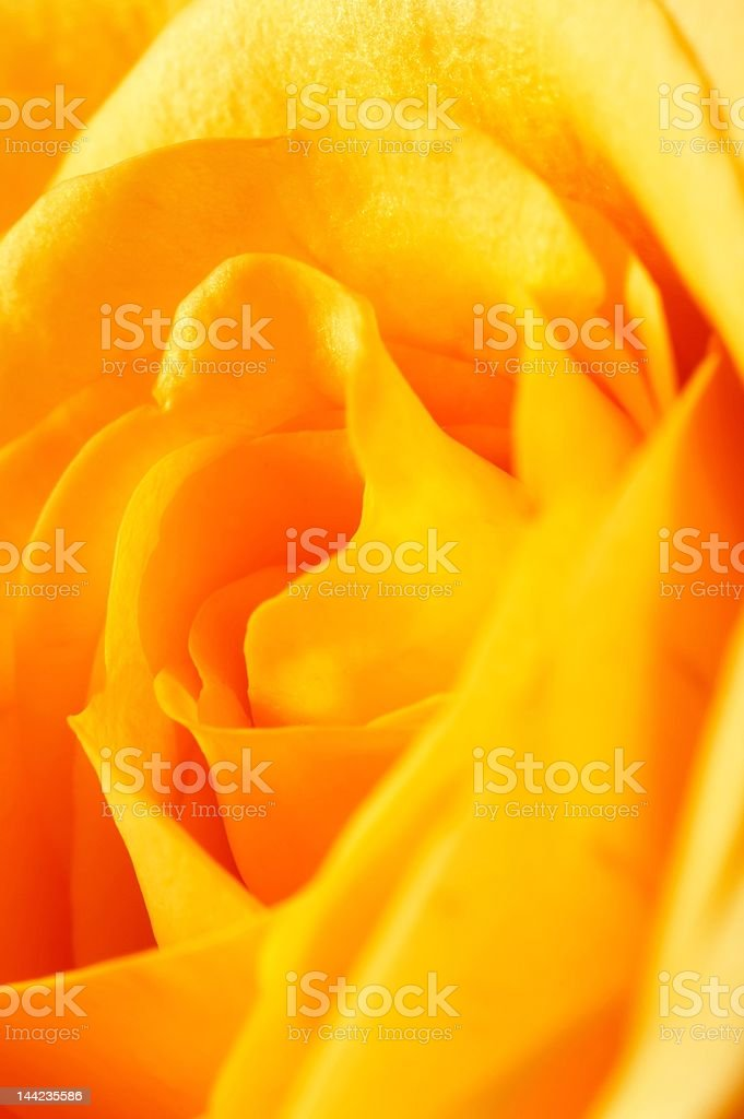 Closeup of a yellow rose royalty-free stock photo