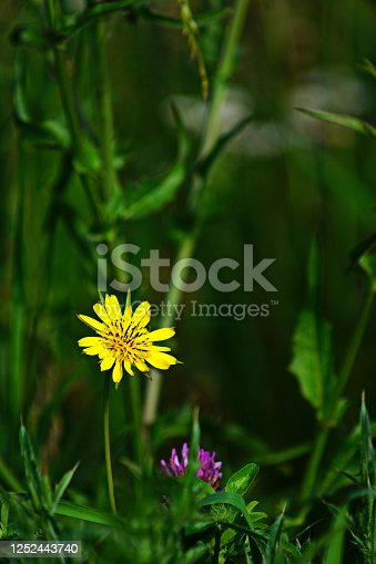 istock Close-up of  a Yellow wildflower goatsbeard Tragopogon pratensis at a Wild flower meadow. Bavaria, Germany. 1252443740