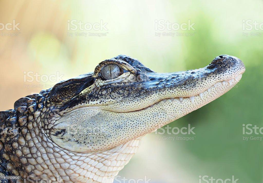 Closeup of a Young Alligator stock photo