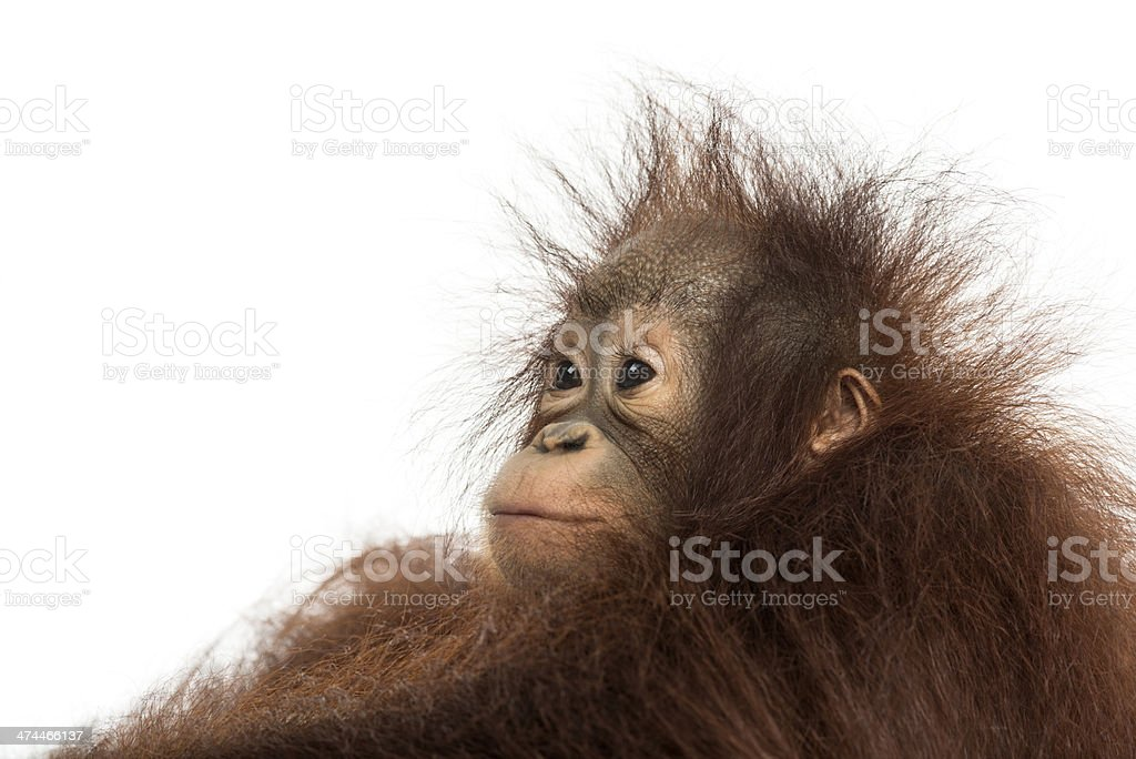 Close-up of a young Bornean orangutan's profile, looking away stock photo